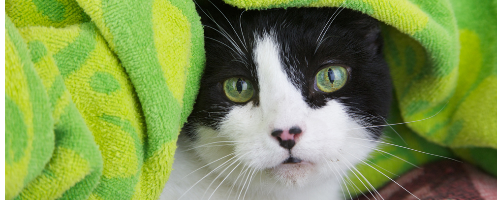 cute hyperthyroid cat hiding under towel