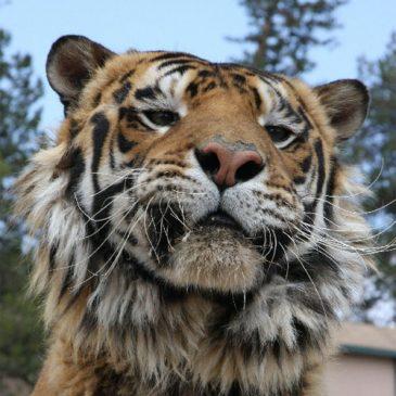 Size matters: Tiger MRI