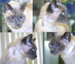 """Figure 2. """"Puss,"""" a cat previously treated with methimazole for hyperthyroidism. Notice the bilateral hair loss and healing excoriations on this cat's face and neck. These lesions resulted from self induced trauma as the result of the profound facial pruritus (itchiness) that can accompany methimazole administration in some cats."""