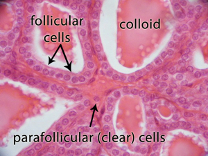 thyroidfollicles