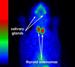 thyroid scintigraphy hyperthyroid cat bilateral adenomas