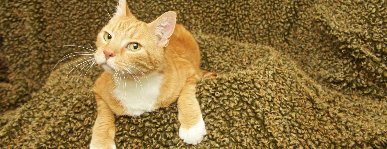 Skeptical Hyperthyroid Cat