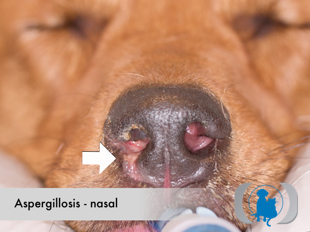 Aspergillosis nasal - gross pathology